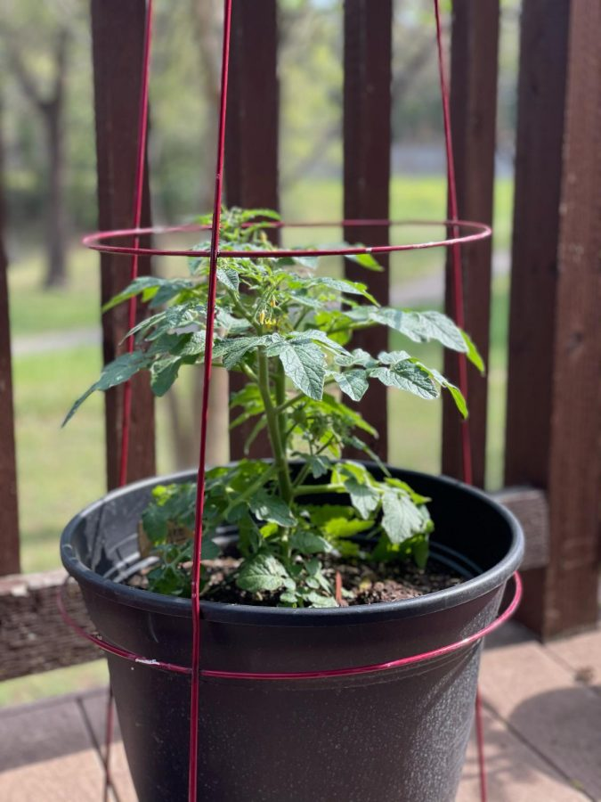 Tomato+Plant+%28Siona_s+Garden%29